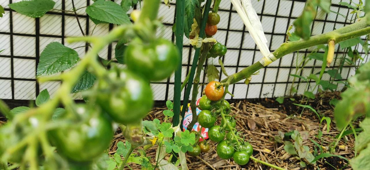 【中3】理科 野菜づくり